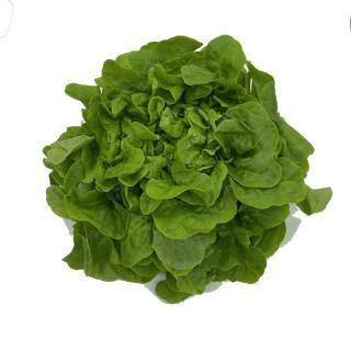 Eichblattsalat grün