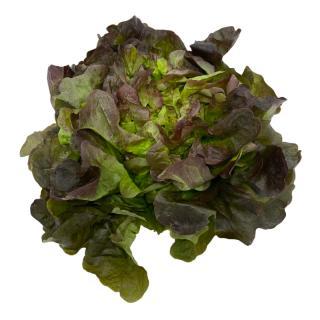 Roter Eichblattsalat
